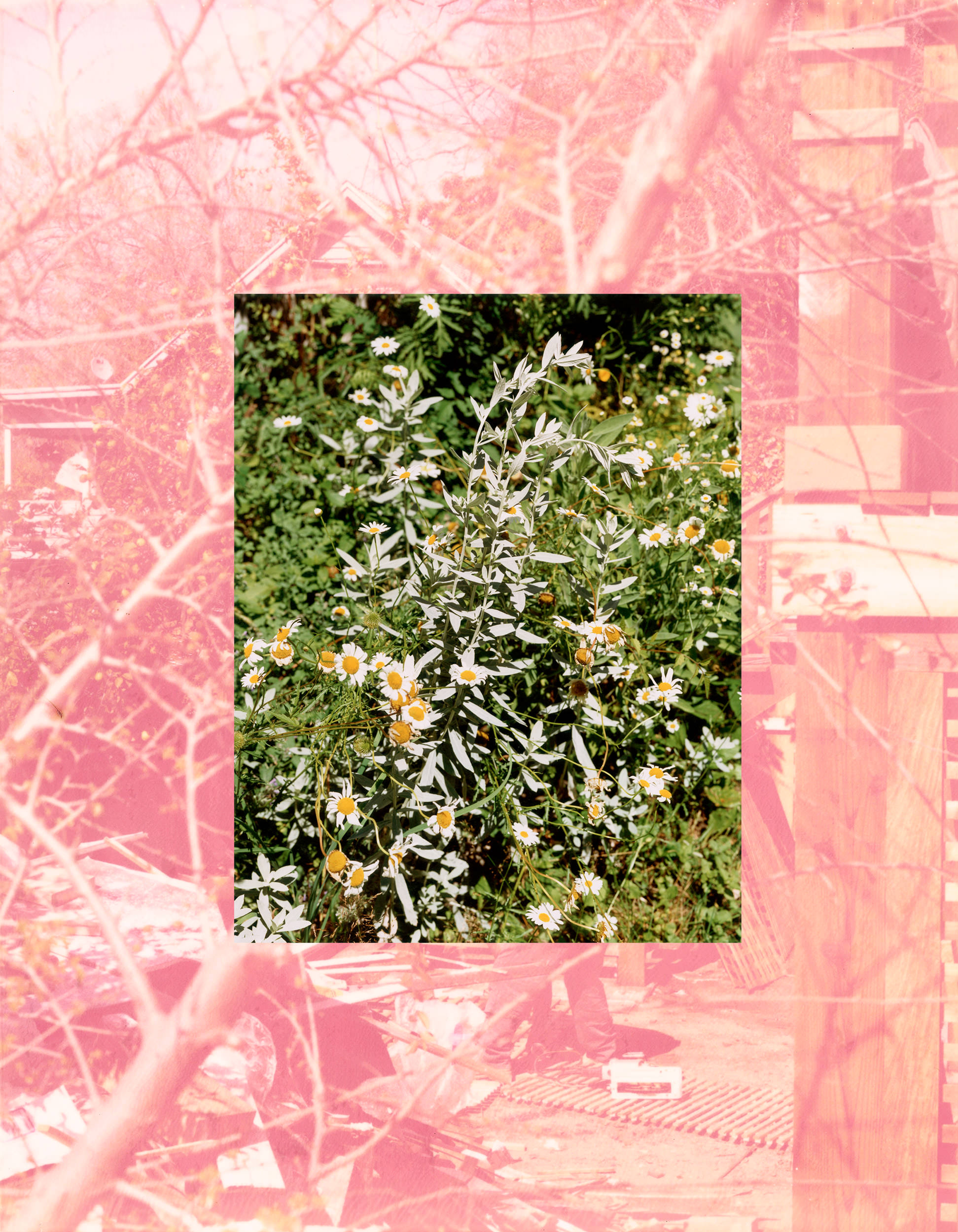 Image of Roe Ethridge, LA Backyard with Sage and Daisies, 2007